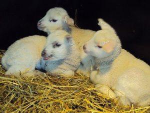 Kolme valkoista karitsaa makuulla heinien päällä.
