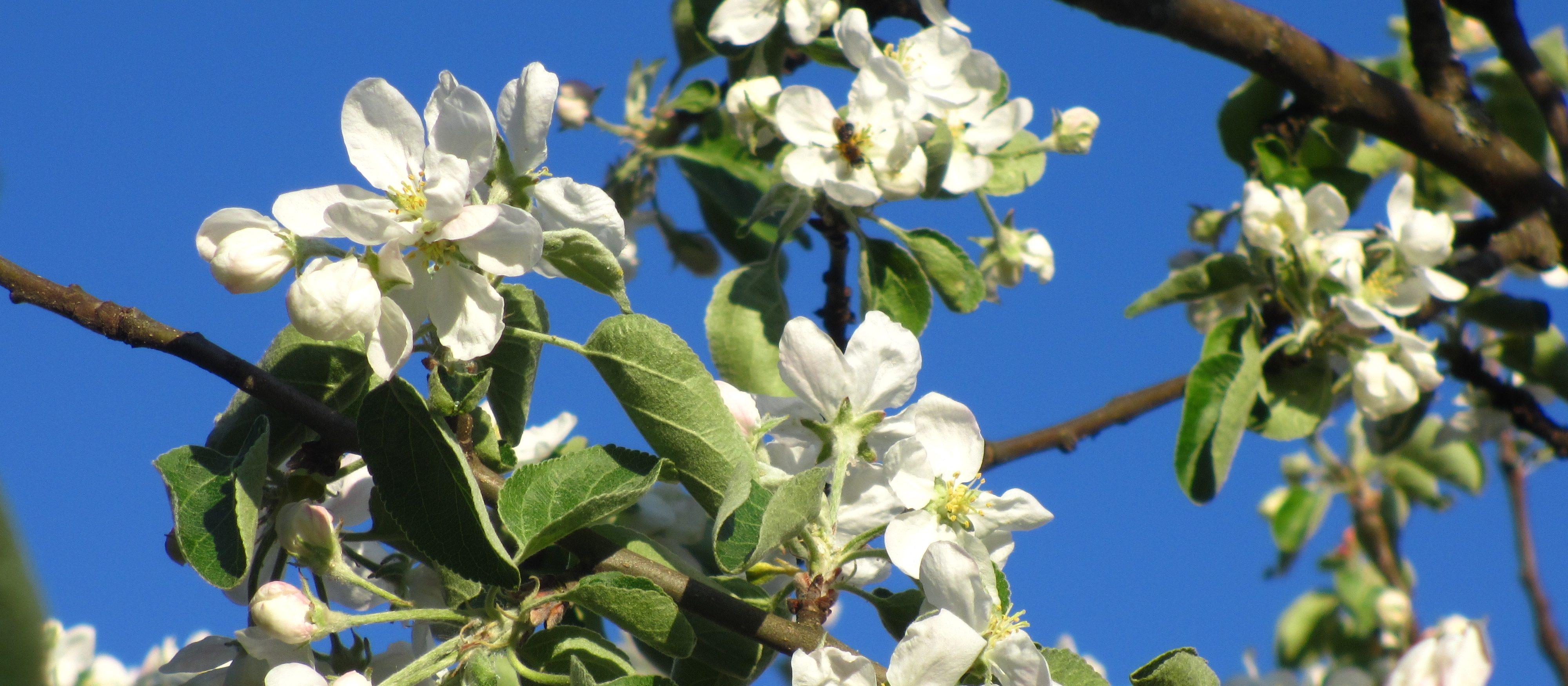 Omenapuu kukkii, taustalla sininen taivas.