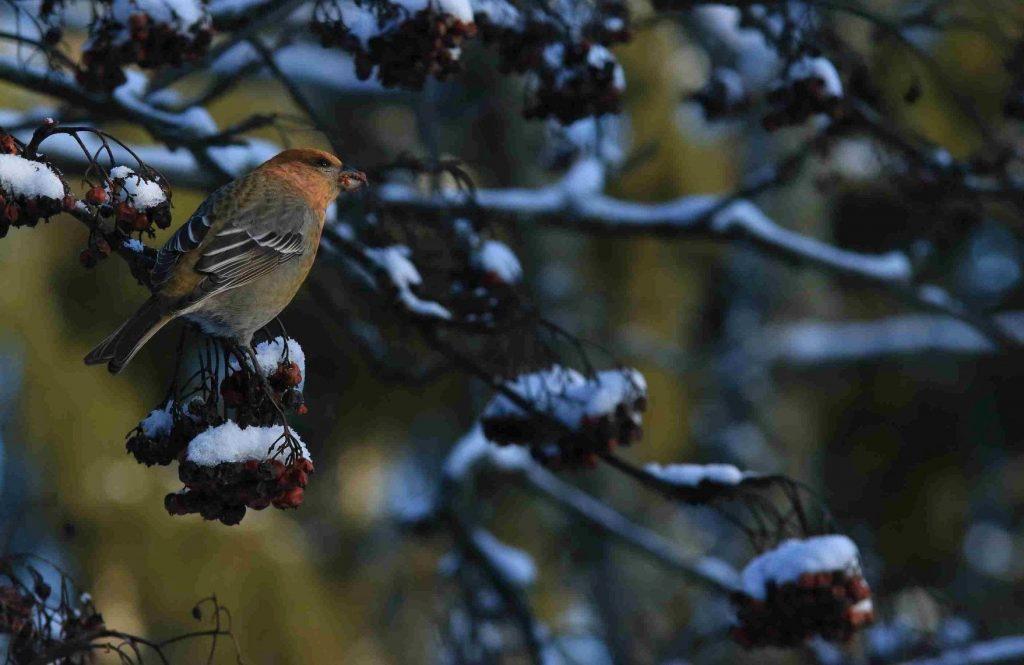 Taviokuurna oksalla talvisissa maisemissa