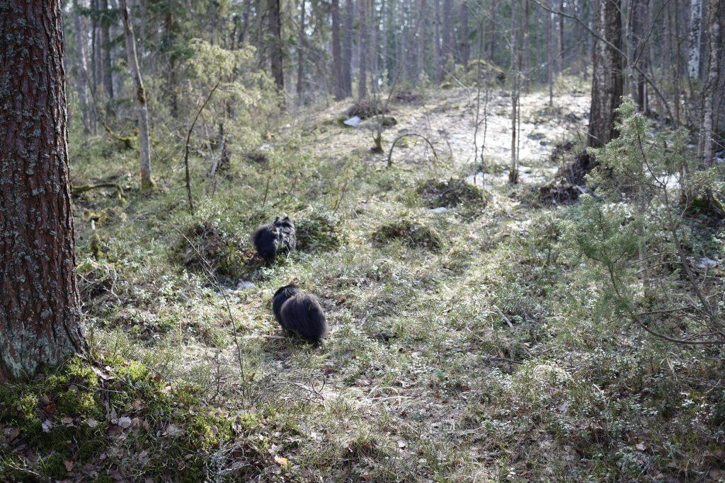 Koirat tutkivat metsää