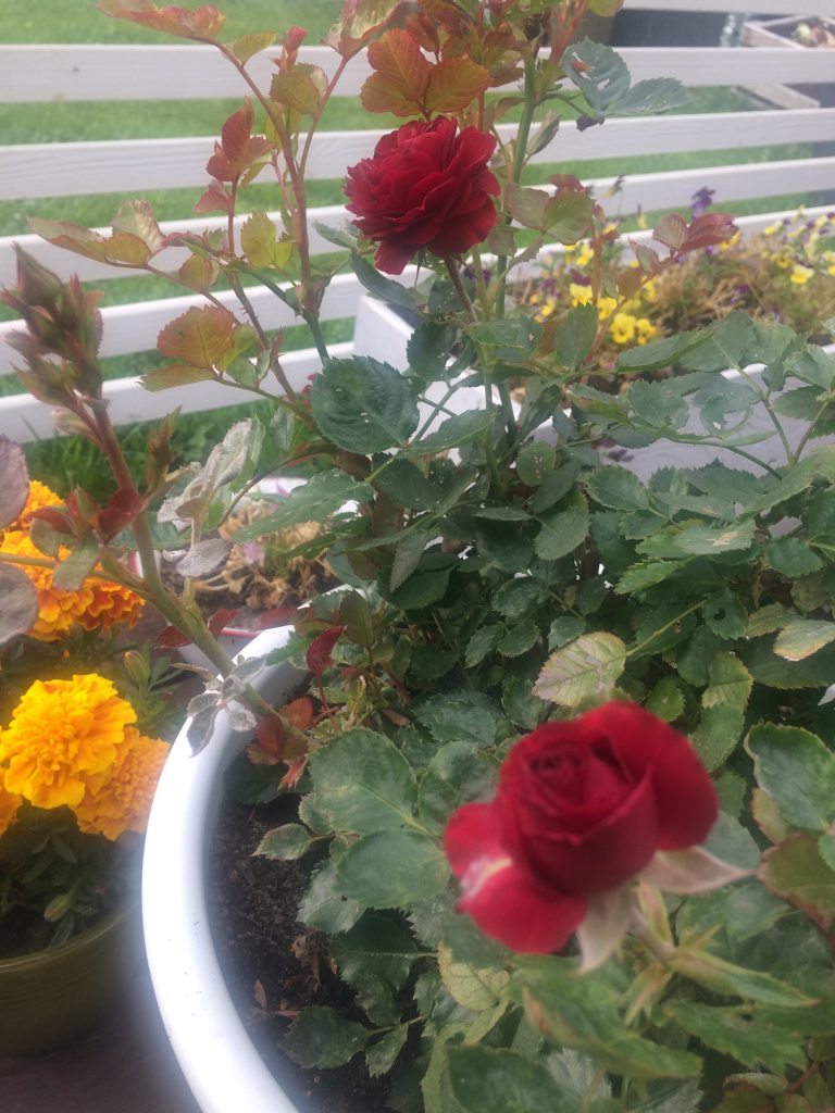 Kukoistava ruusu ruukussaan