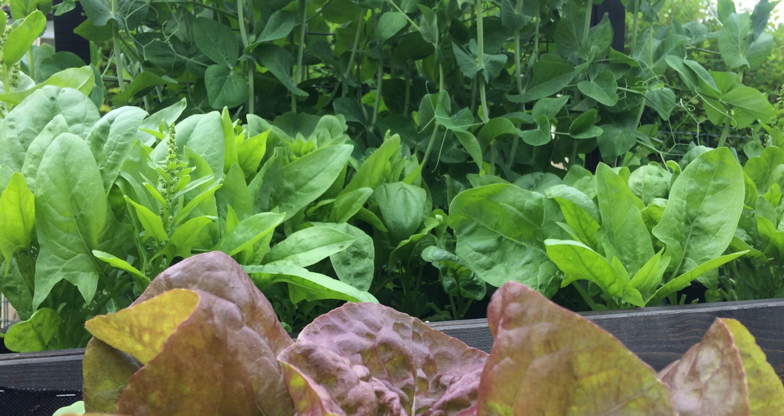 Vihanneksia viljelylaatikossa.