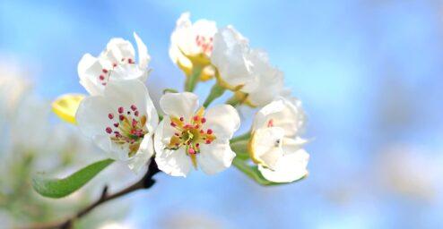 valkoisia kukkia sinistä taivasta vasten.